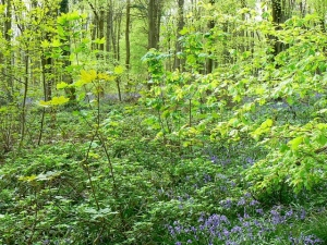 Trees,_saplings_and_bluebells,_West_Woods,_near_Marlborough_-_geograph.org.uk_-_789248